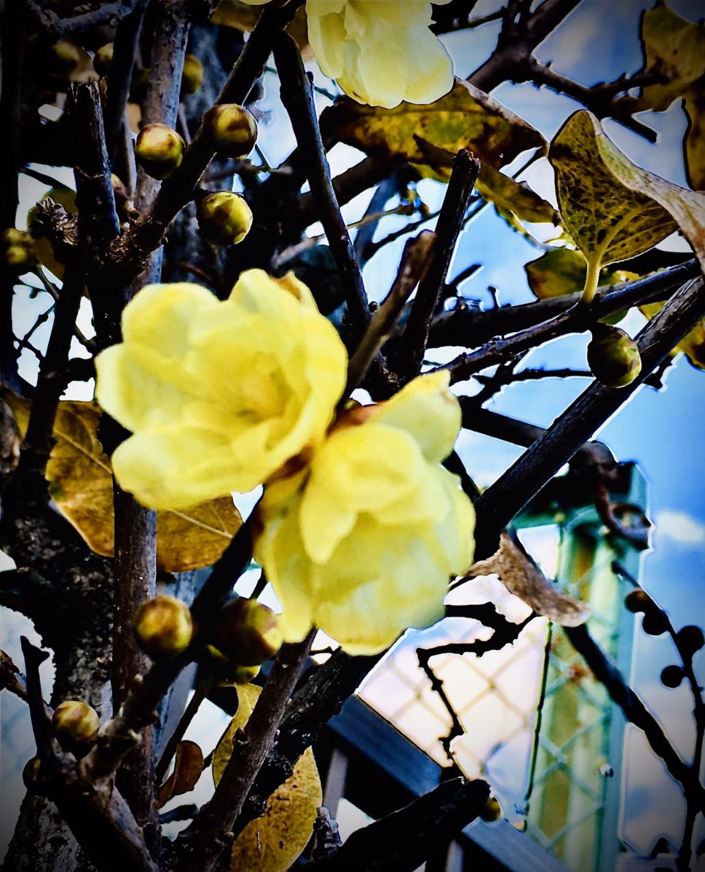蝋梅開花しました。